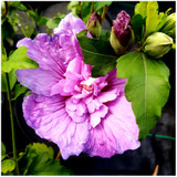 Hibiscus Syriacus Lavender Chiffon / Rose of Sharon in 2L Pot, Double Flowers
