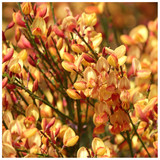 Cytisus 'Apricot Gem' Broom Plant In 2L Pot, Stunning Fragrant Apricot Flowers