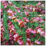 Cytisus 'Zeelandia' Broom Plant In 2L Pot, Stunning Fragrant Pink and Cream Flowers