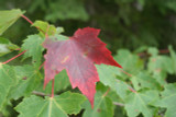 Acer rubrum / Red Maple in 9cm Pot, Stunning Autumn Colours
