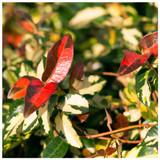 Trachelospermum Summer Sunset in 2L Pot, Evergreen Star Jasmine With Rich Scent