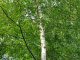 3 Silver Birch, 3-4ft Stunning  Mature Specimen Trees, Betula Pendula in 1L Pots