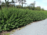 20 Green Privet 40-60cm Tall Hedging Ligustrum Plants Hedge, Fast Growing Evergreen