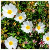 Cistus x obtusifolius / Rock Rose in 2L Pot, Produces Lovely White Flowers