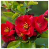 Chaenomeles × superba 'Texas Scarlet' / Japanese Quince,  In 1-2L Pot