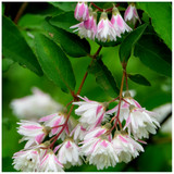 Deutzia Scabra / Codsall Pink, 1-2ft Tall In 2L Pot, With Showy White Flowers