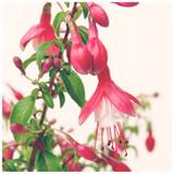 Fuchsia 'Lady Thumb' Plant In 2L Pot, Beautiful Flowers