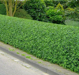 20 Wild Privet Hedging Ligustrum  Vulgare Plants Hedge 40-60cm,Quick Growing Evergreen