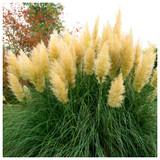 Cortaderia selloana Pampas Grass 30-40cm in 13cm Pot, Silky Ornamental Plumes