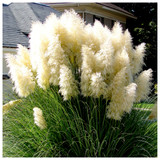 Cortaderia Selloana White Feather Grass in 11cm Pot, Silky White Ornamental Plumes