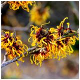 Hamamelis 'Orange Beauty' / Witch Hazel 30cm in 2L Pot, Lovely colourful Flowers
