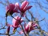 Magnolia 'Galaxy' in 2L pot 2-3ft tall, Stunning Deep Purple Flowers