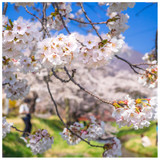 Snow Showers Weeping Cherry Blossom Tree 4-5ft, Hillings Weeping Flowering Cherry