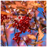 Sorbus commixta / Mountain Ash Japanese Rowan 4ft TallTall, Orange-Red Berries