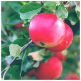 Dwarf Patio Discovery Apple Tree in a 5L Pot Ready to Fruit, Crisp,Juicy, Strawberry Taste