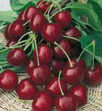 Dwarf Patio Bigarreau Burlat Cherry Tree in a 5L Pot, Dark Red, Sweet & Juicy Cherries