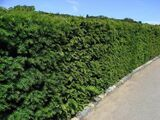 25 English Yew 25-30cm Hedging Plants,4yr old Evergreen Hedge,Taxus Baccata Trees