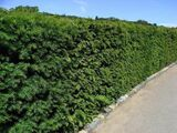 1 English Yew 25-30cm Hedging Plant, 4yr old Evergreen Hedge,Taxus Baccata Tree