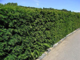 3 English Yew 25-30cm Hedging Plants,4yr old Evergreen Hedge,Taxus Baccata Trees