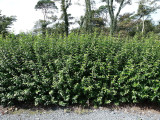 3 Green Privet Plants 3-4ft Tall, Evergreen Hedging, Grow a Quick, Dense Hedge