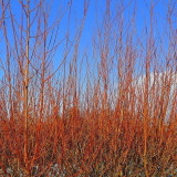 100 Common Dogwood Plants /Cornus Sanguinea 40-60cm Tall,Stunning Winter Colours