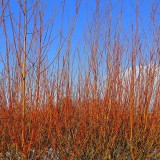 10 Common Dogwood Plants / Cornus Sanguinea 40-60cm Tall,Stunning Winter Colours