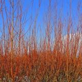 5 Common Dogwood Plants / Cornus Sanguinea 40-60cm Tall,Stunning Winter Colours