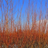 1 Common Dogwood Plant / Cornus Sanguinea 40-60cm Tall, Stunning Winter Colours