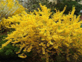 50 x Forsythia intermedia Hedging 'Spectabilis' 2-3ft Tall,Yellow Spring Flowers