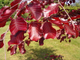 3 Copper Purple Beech 3-4ft Tall Hedging Trees, Stunning all Year Colour 90-120cm