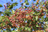 10 Crab Apple 4-5ft Tall Trees Native Malus Hedging,Make your own Cider & Jelly