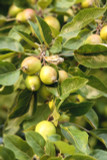 5 Crab Apple Trees 40-60cm Native Malus Hedging,Make your own Cider & Jelly