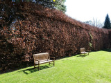 100 Green Beech Hedging Plants 120-150 cm,Copper Autumn Colour 4-5ft Trees