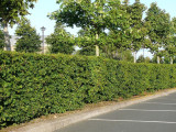 100 Hornbeam 4-5ft, Native Carpinus Betulus Hedging, Makes a Thick & Dense Hedge