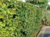 5 Hornbeam 4-5ft,Native Carpinus Betulus Hedging.Makes a Thick & Dense Hedge