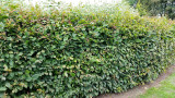 1 Hornbeam 5-6ft, 3 years old Carpinus Betulus Tree, Stunning Instant Hedging