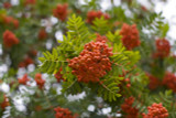 Mountain Ash (Rowan) Plant / 3-4ft Tall Sorbus Aucuparia Bird & Wildlife Food