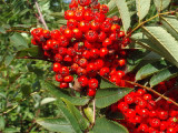 5 Mountain Ash (Rowan) Plants / 3-4ft Tall Sorbus Aucuparia Bird & Wildlife Food