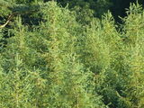 10 Japanese Larch Trees,2ft  Larix Plants, Different Colours Every Season