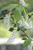 25 Bird Cherry Trees,Flowering &  Berries,2-3 ft Prunus Padus,Birds Love Them