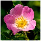 3 Dog Rose Hedging Plants 30-50cm  Rosa Canina,  Make Healthy Rose Hip Syrup