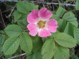 1 Dog Rose Hedging Plant 60-90cm  Rosa Canina,  Make Healthy Rose Hip Syrup