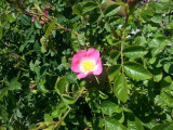 20 Dog Rose Hedging Plants 60-90cm  Rosa Canina,  Make Healthy Rose Hip Syrup