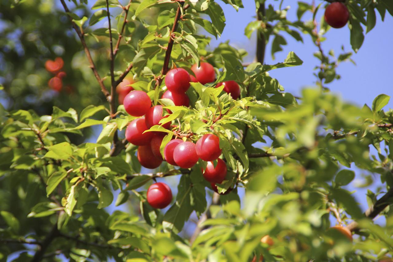 Myrobalan Edible Hedging Cherry Plum Tree Prunus Cerasifera 2-3ft Tall