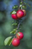 Cherry Plum Tree / Prunus Cerasifera / Myrobalan, 40-60cm Tall, Edible Hedging