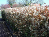 100 Snowy Mespilus 1-2ft Amelanchier Lamarckii hedging June Berry,Strong 2yr Old