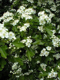 1 Hawthorn Hedging Plant, 4-5ft Hedge, Native Hawthorne,Quickthorn,Mayflower
