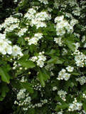 3 Hawthorn Hedging Plants, 4-5ft Hedges, Native Hawthorne,Quickthorn,Mayflower
