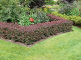 100 Purple Barberry Hedging Plants 20-30cm / Berberis Thunbergii Atropurpureum