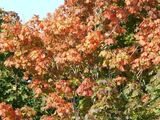 100 Sycamore Maple Trees,2-3 ft Acer Pseudoplatanus Hedge,Stunning Autumn Colour